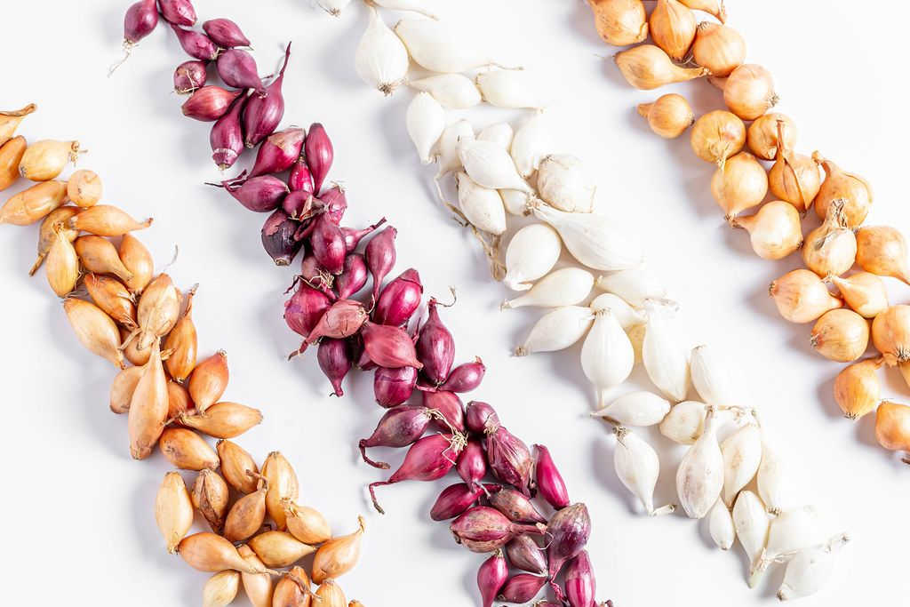 Multicolored different varieties of planting onions on a white background