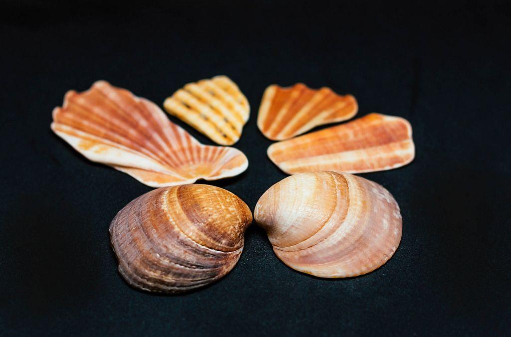 Muscheln vor schwarzem Hintergrund