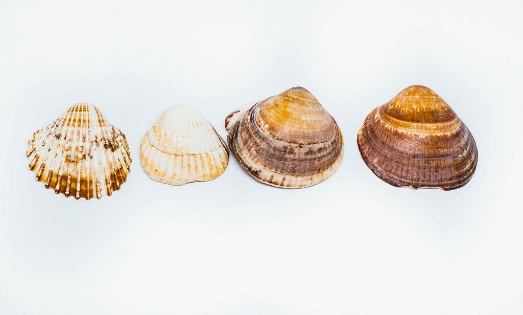 Muscheln vor weißem Hintergrund