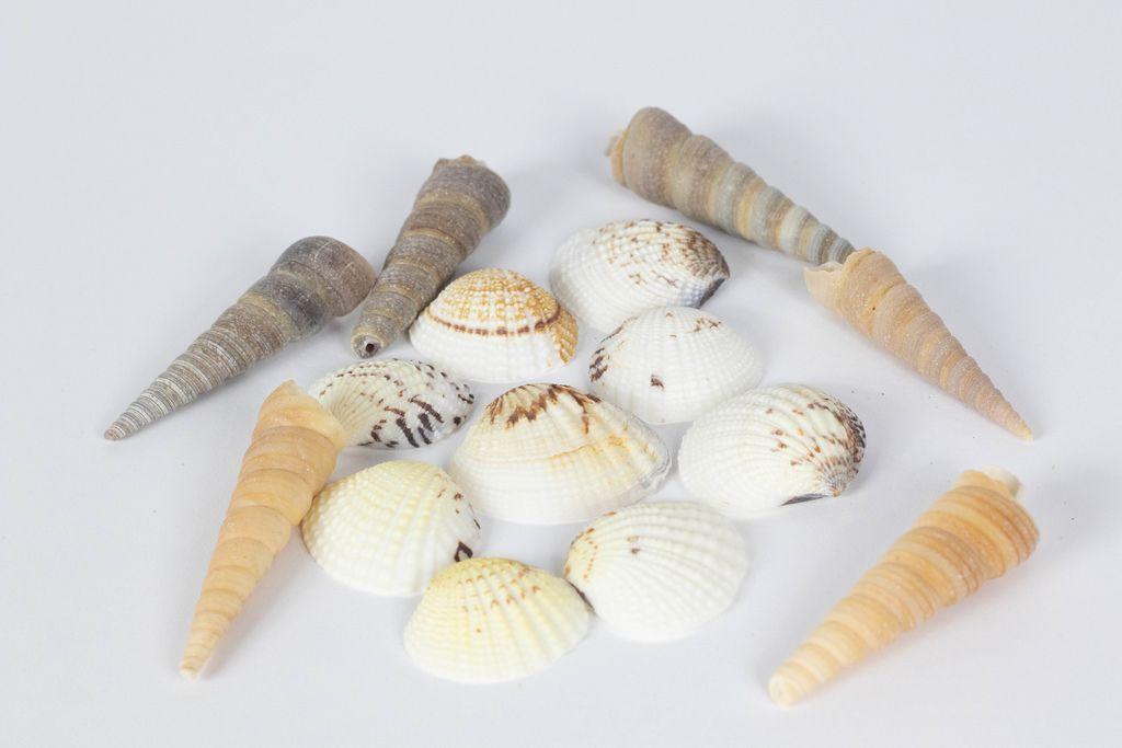Muschelschalen unterschiedlicher Formen vor weißem Hintergrund