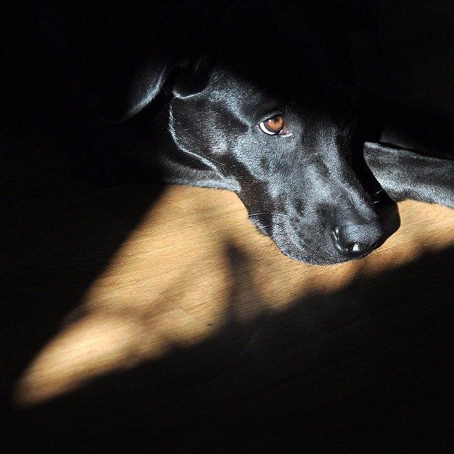 Nachdenklicher Hund #nofilter  #sun #sonne #portrait #labrador #nikon #50mm #picoftheday #dog #hund #instadaily #instapic #puppy #pet #sweet