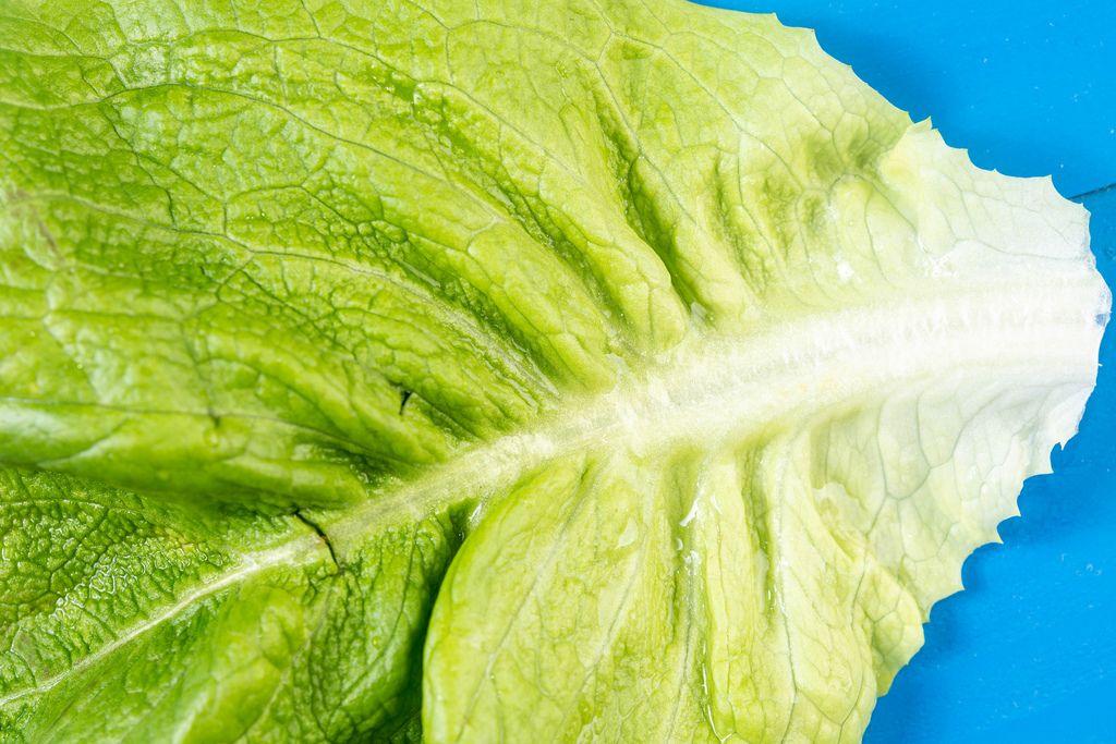 Nahaufnahme des grünen Kopfsalatblattes auf dem blauen Hintergrund