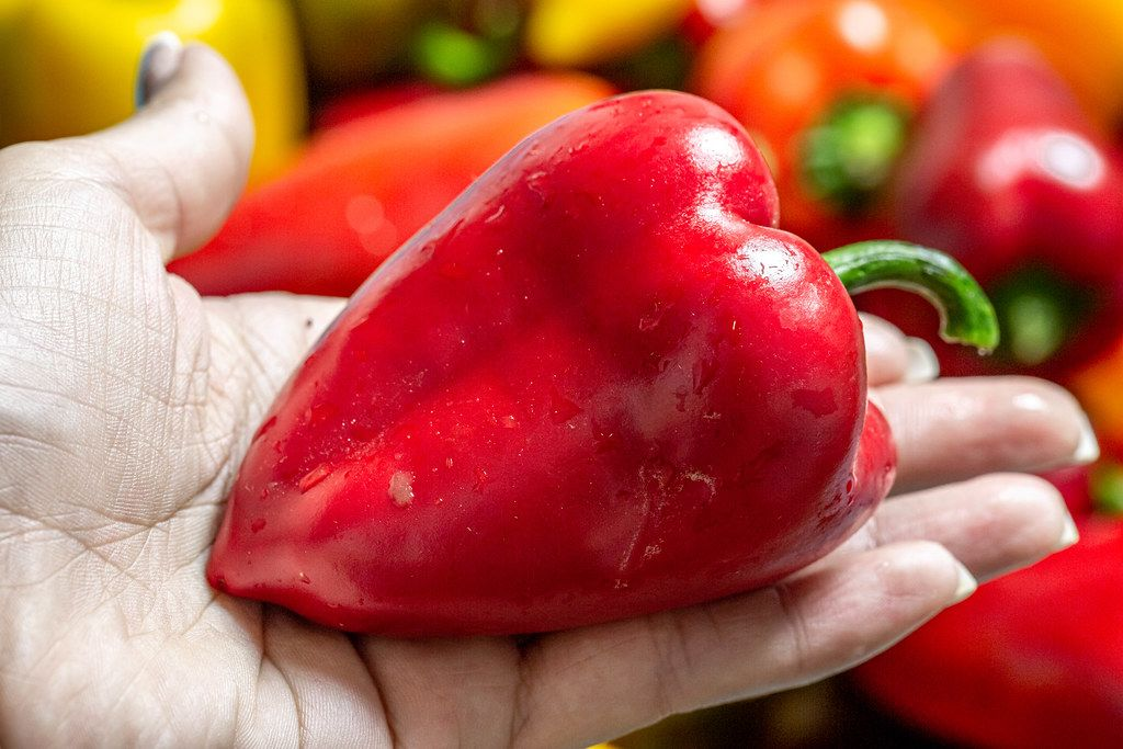 Nahaufnahme einer reifen roten Paprika auf einer Frauenhand