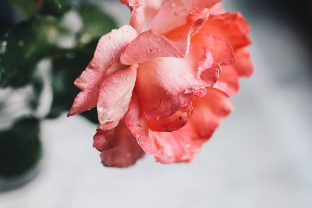 Nahaufnahme einer rosafarbenen Rose mit Wassertropfen. Sommerregen