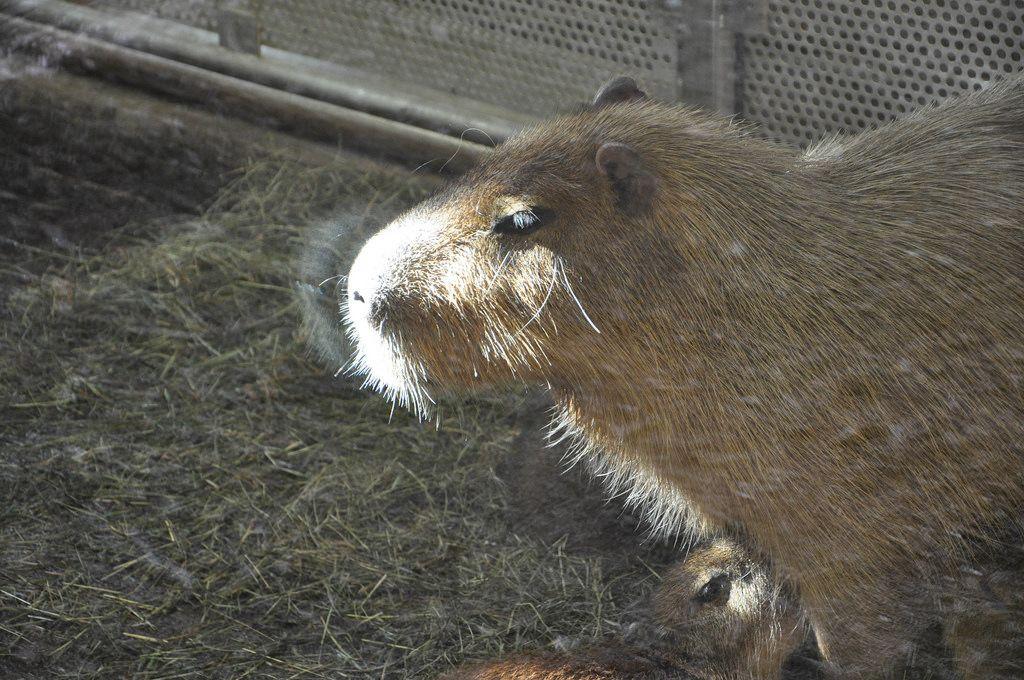 Nahaufnahme eines Capybaras im Kölner Zoo