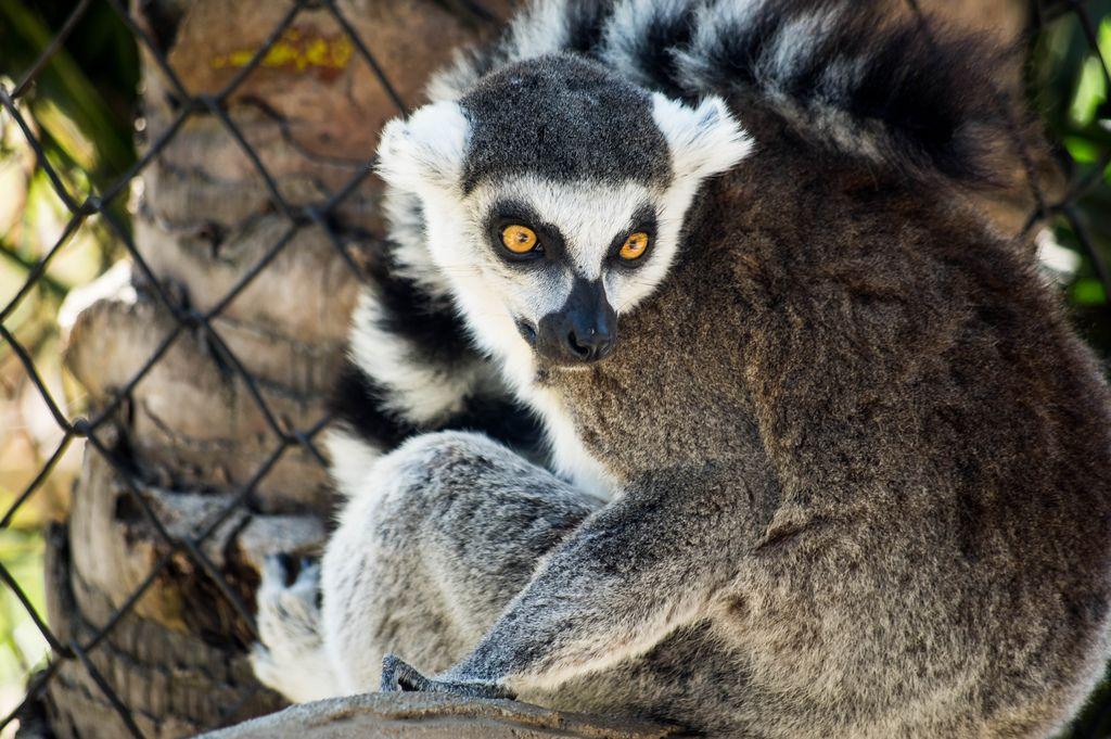 Nahaufnahme eines Lemurs mit gelben Augen, der zurück blickt