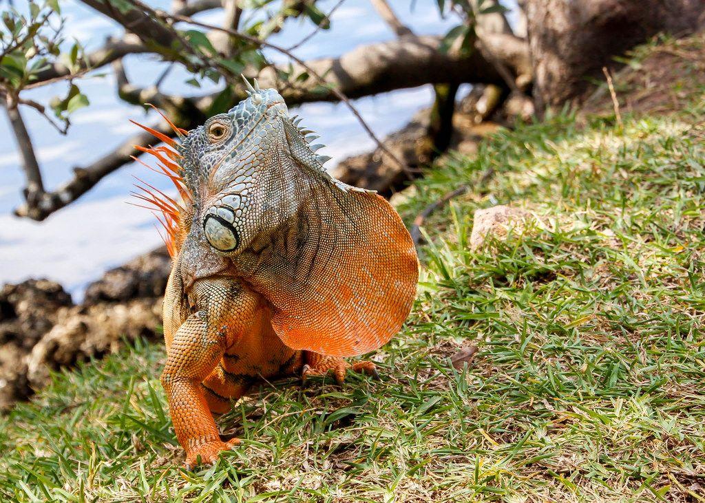 Nahaufnahme: Orangener Leguan