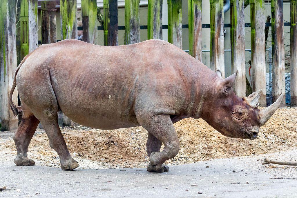 Nashorn in Gefangenschaft (engl.: Rhino)