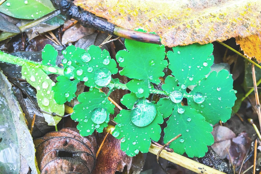 Neues Grün im Frühling