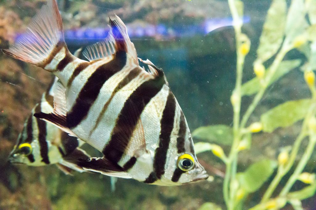 Old wife (Enoplosus armatus) at Shedd Aquarium