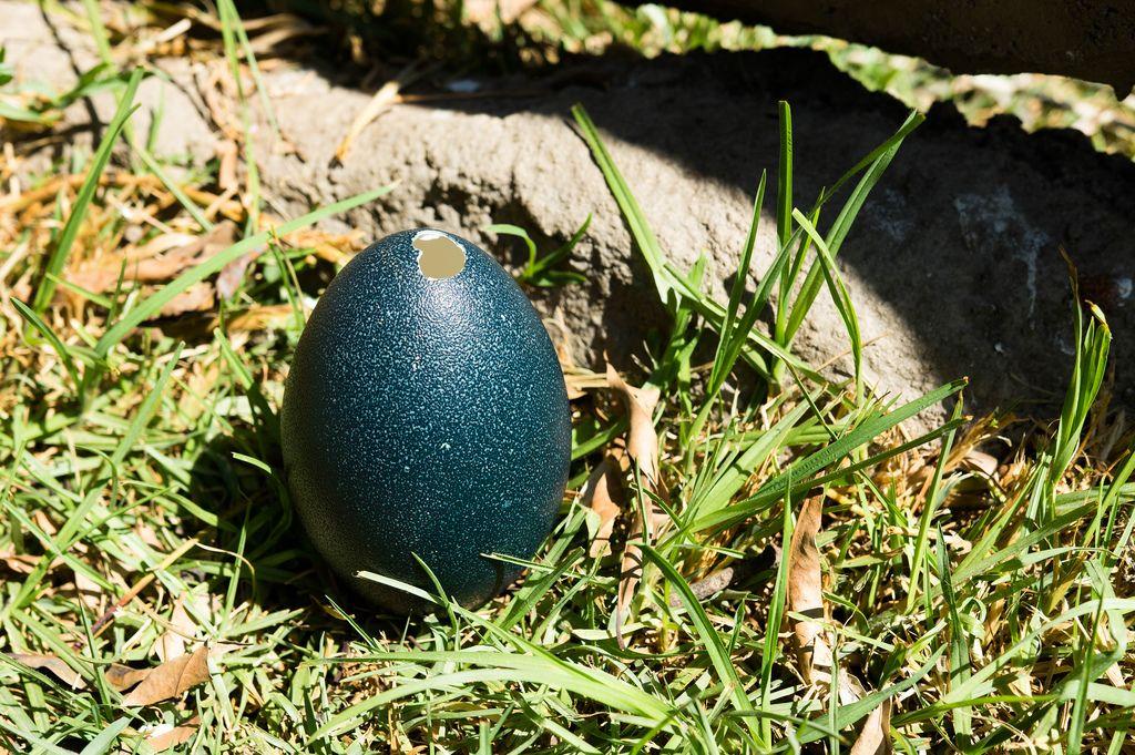 Open emu egg on the grass (Flip 2019)