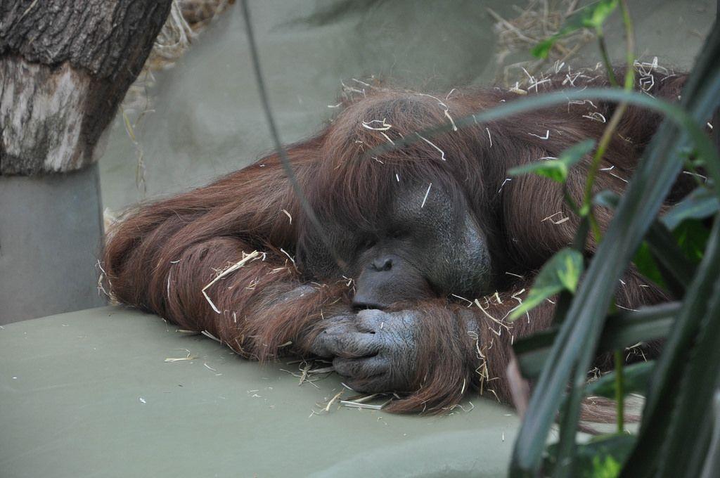 Orang-Utan beim Schlafen im Kölner Zoo