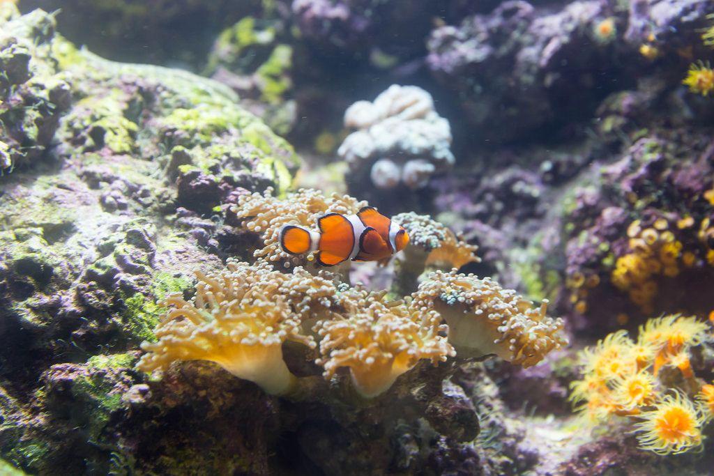 Orange clownfish (Amphiprion percula) above a Hammer coral (euphyllia parancora) - Shedd Aquarium, Chicago