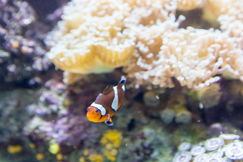 Orange clownfish (Amphiprion percula) - Shedd Aquarium, Chicago