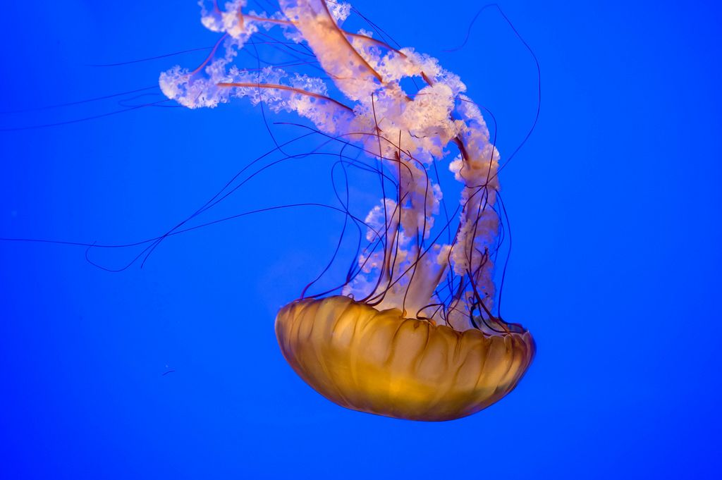 Orange ocean water jellyfish