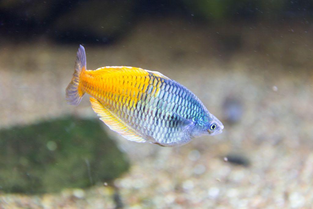 Orangeback rainbowfish (Melanotaenia boesemani) at Shedd Aquarium