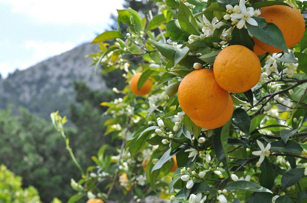 Orangen auf Orangenbäumen
