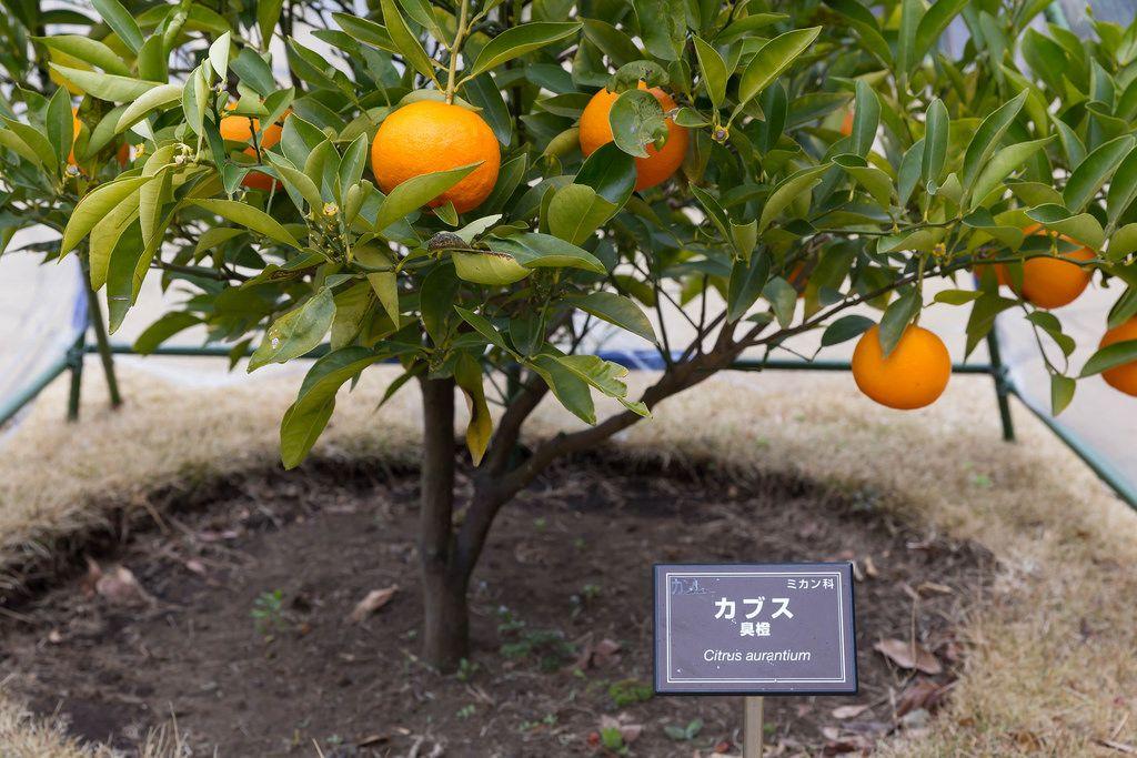 Orangenbaum (Citrus aurantium)