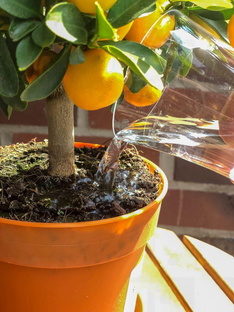 Orangenbaum wird gegossen