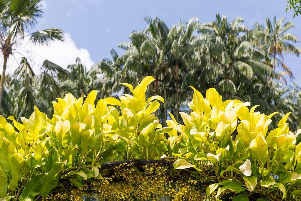 Palmen im Botanischem Garten in Singapur