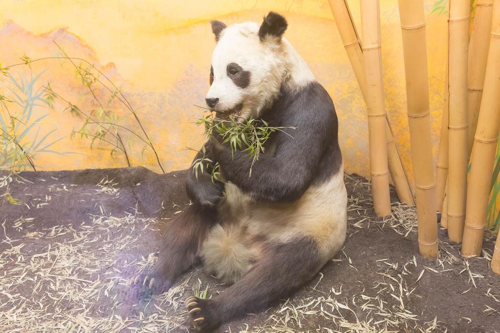 Pandabär / Panda Bear