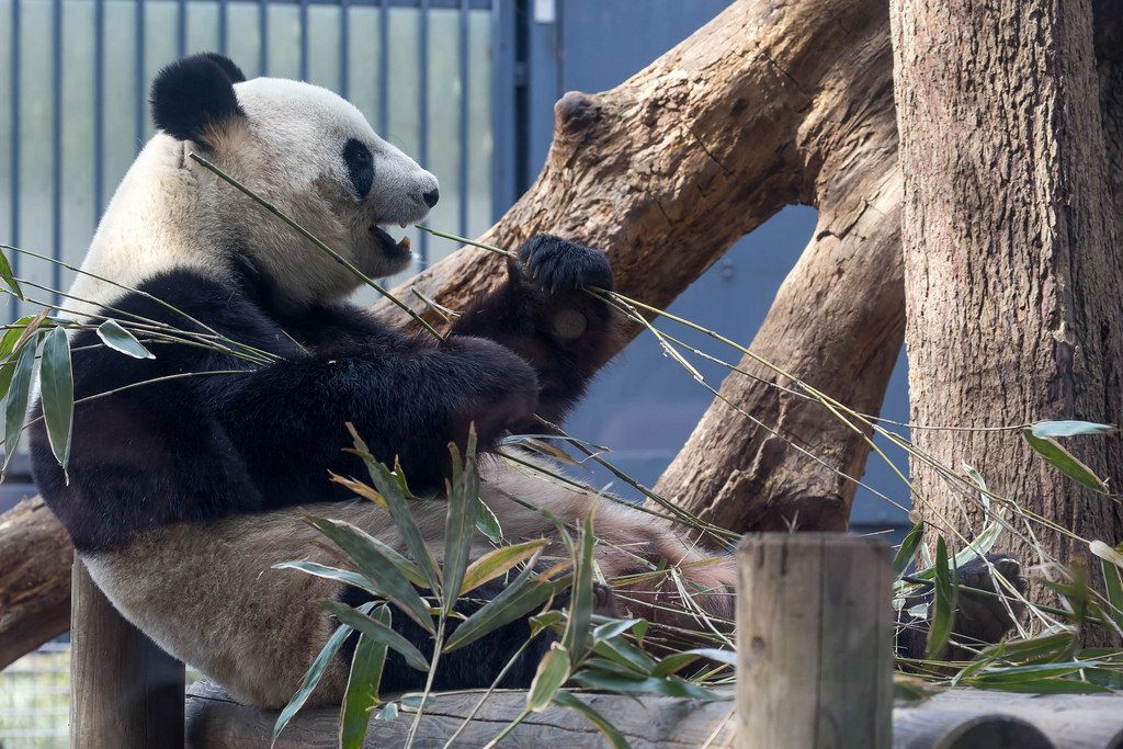 Pandabär Riri isst Bambus