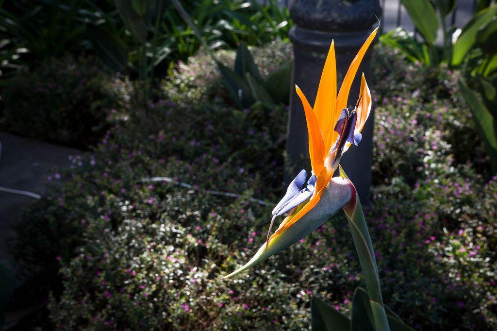 Paradiesvogelblume (Strelitzia reginae)
