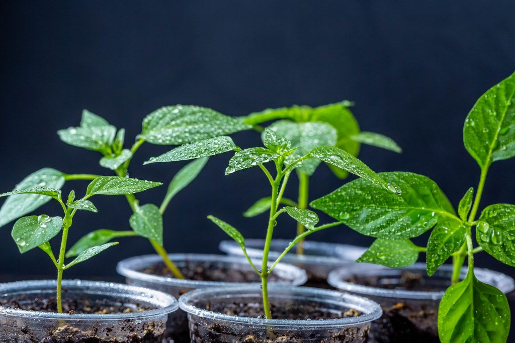 Pepper seedlings in plastic cups