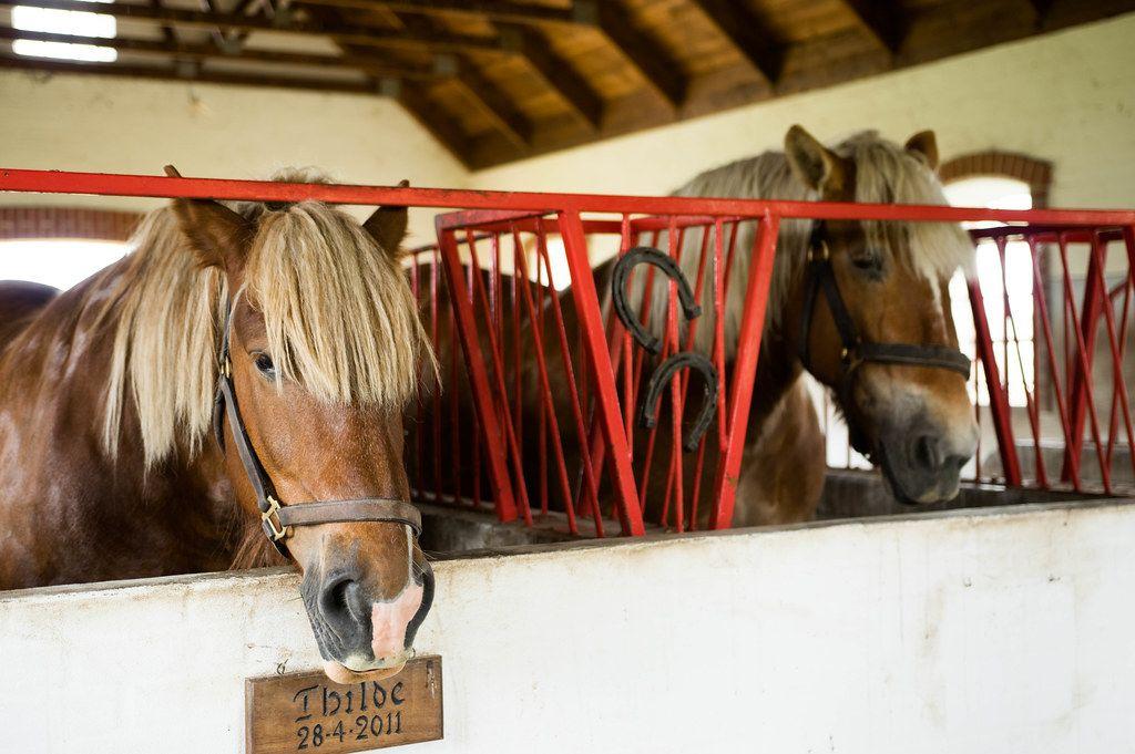 Pferde stecken die Köpfe aus ihren Ställen / Pferdeboxen