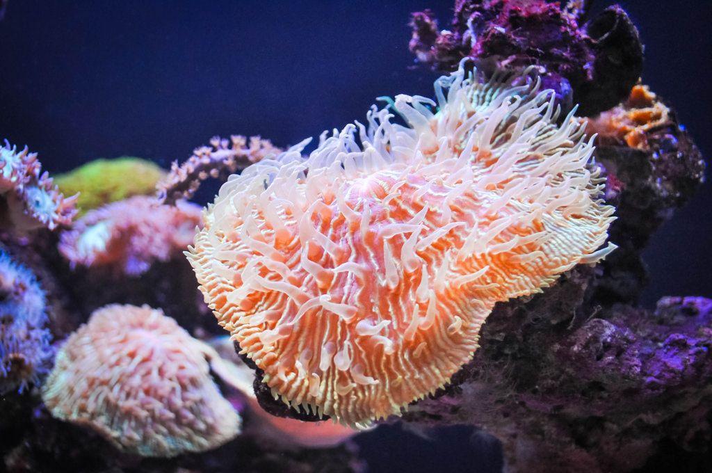 Pferdeaktinie  / Beadlet anemone
