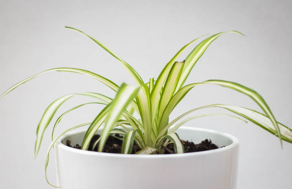 Pflegeleichte Grünlilie als Zimmerpflanze in einem weißen Topf auf weißem Hintergrund
