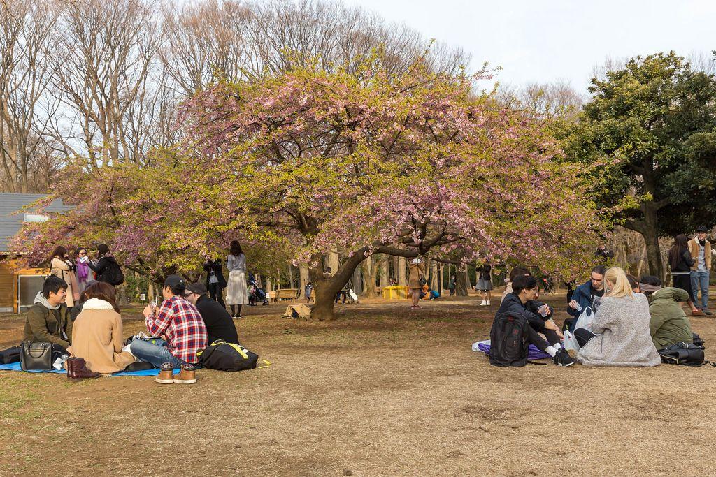Picknick unter Kirschblütenbäumen im Yoyogi Park Tokio