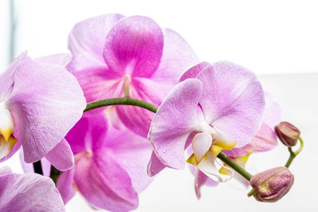 Pinke Schmetterlingsorchidee mit Knospen, vor weißem Hintergrund