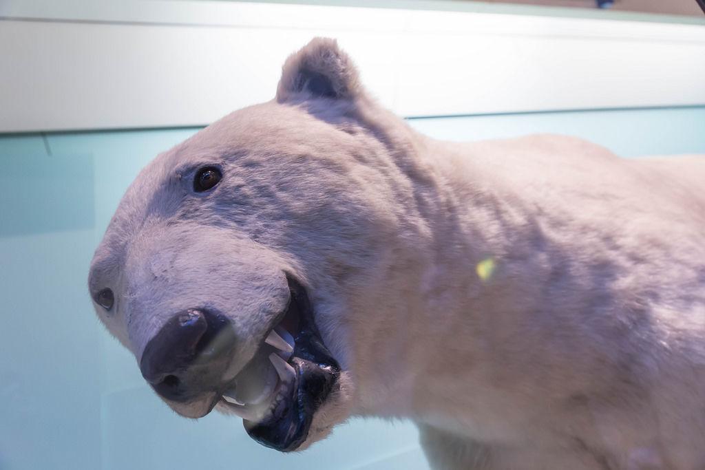Polarbär / Polar Bear