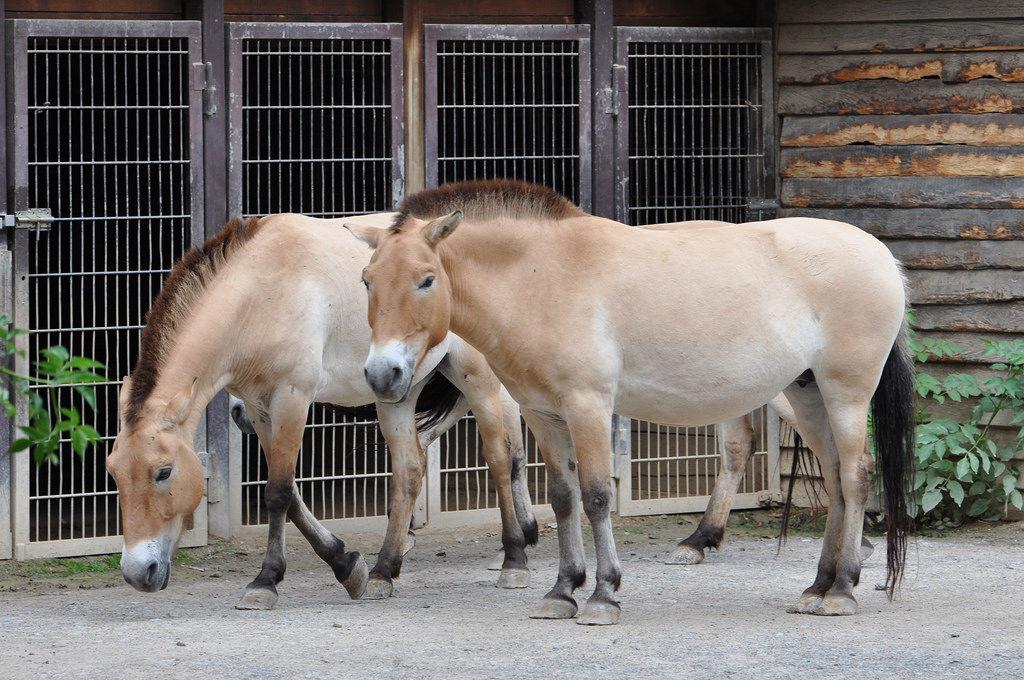 Przewalskipferde aus Ungarn
