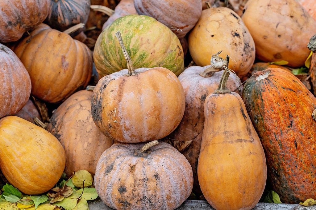 Pumpkins in a pile in the garden