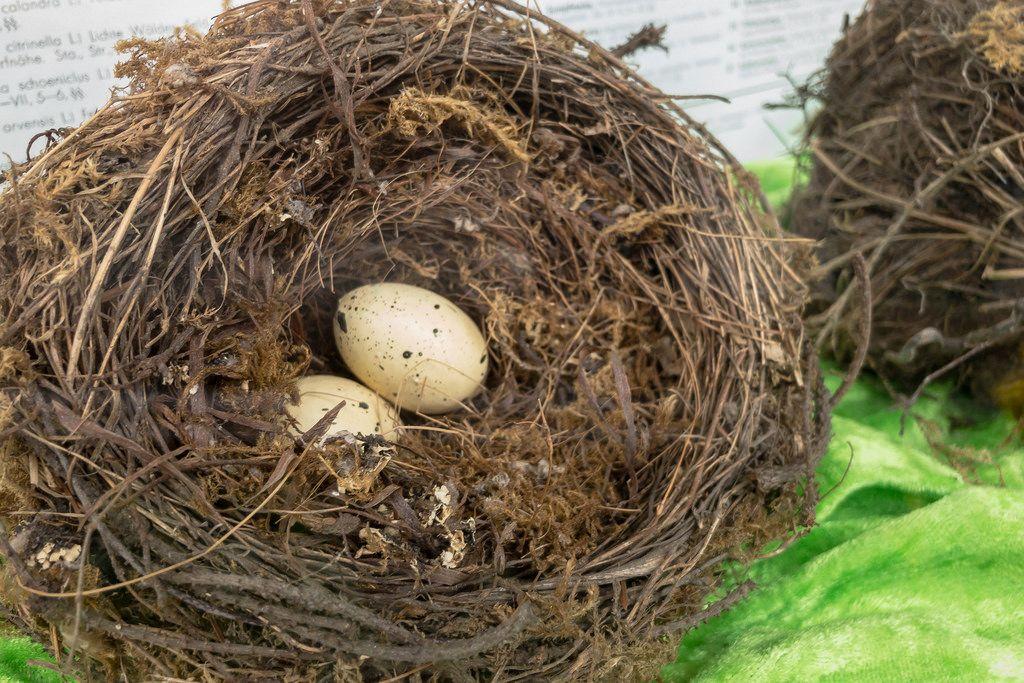 Quail's eggs in a nest