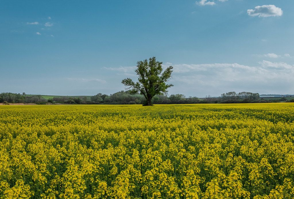 Rapeseed yellow field and blooming tree