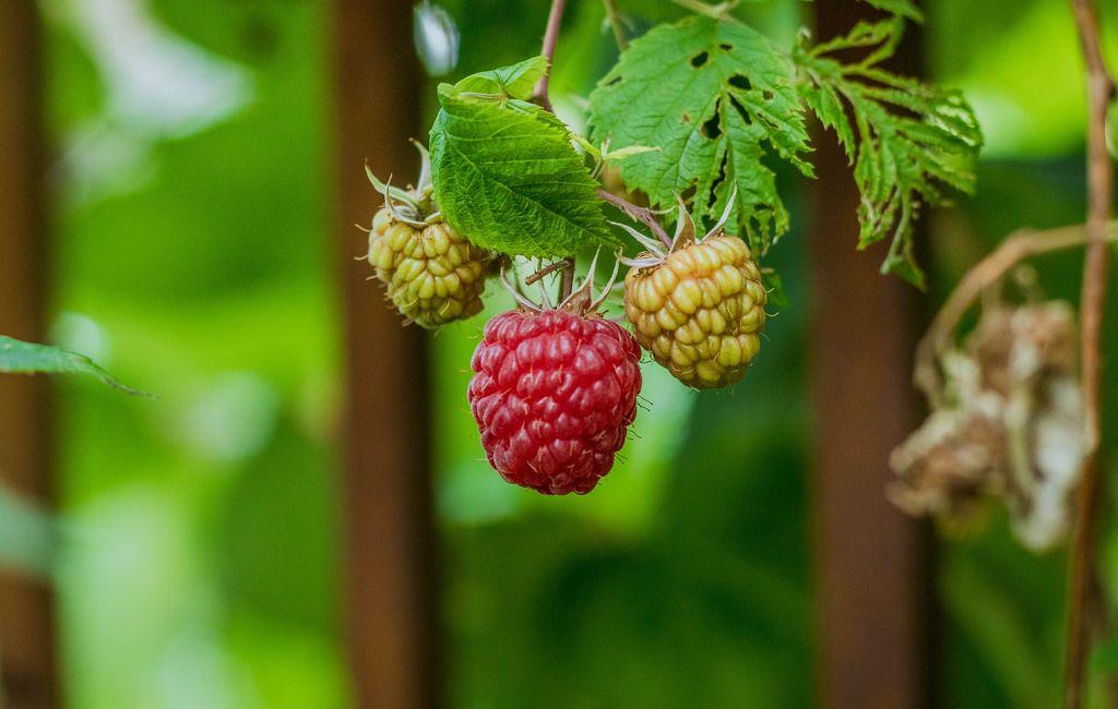 Raspberries in nature