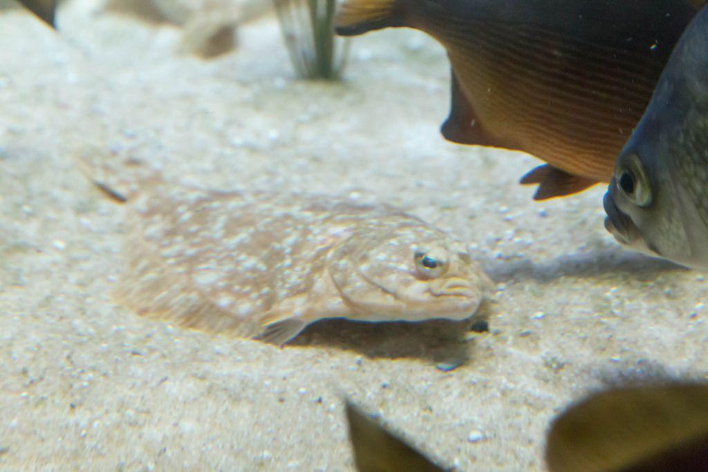 Rechtsaugen-Flunder (Isopsetta isolepis) im Shedd Aquarium