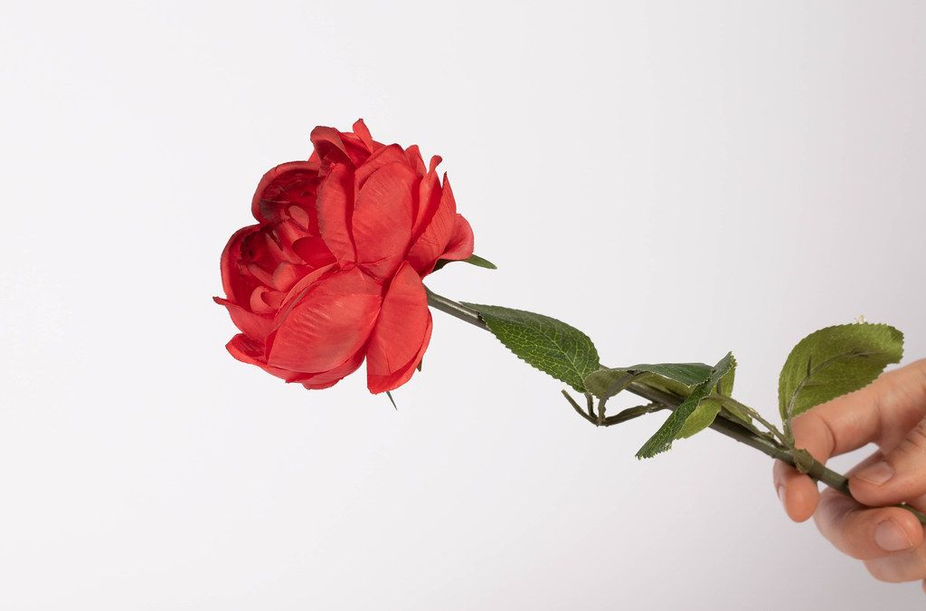 Red rose in hand isolated on white background (Flip 2019)