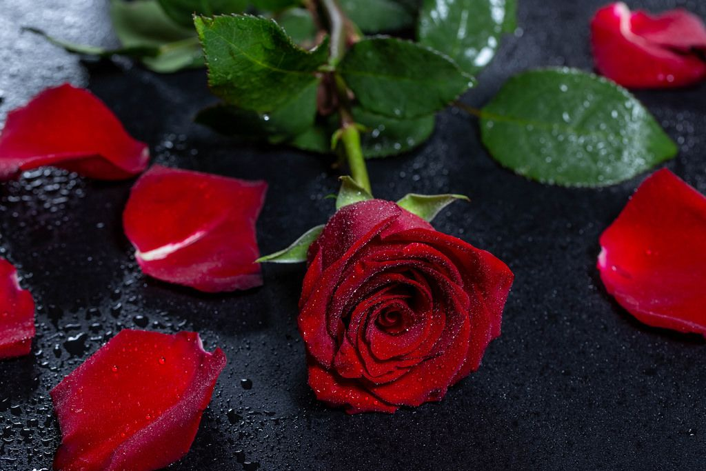 Red rose with petals and drops