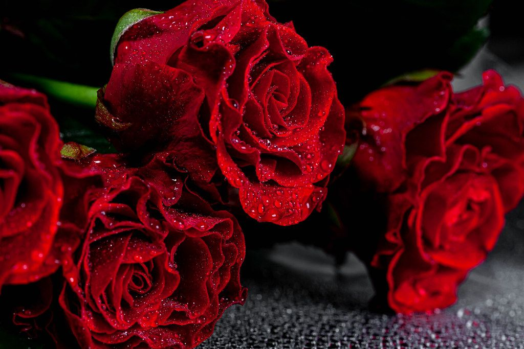 Red roses with water drops on petals on black background