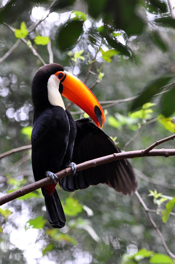 Riesentukan im Vogelpark Parque das Aves in Brasilien