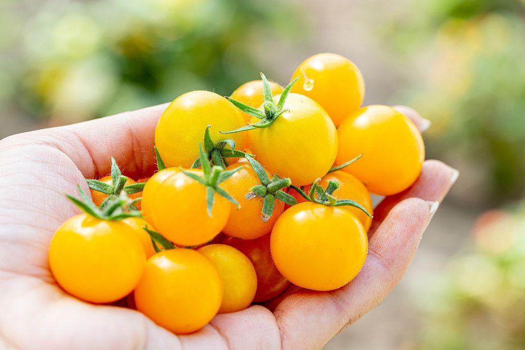 Ripe yellow tomatoes in the women's hand