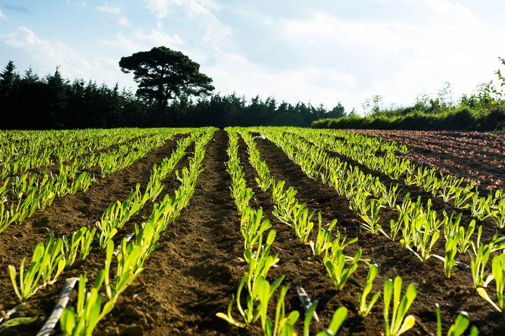 Roman lettuce plantation (Flip 2019) (Flip 2019) Flip 2019