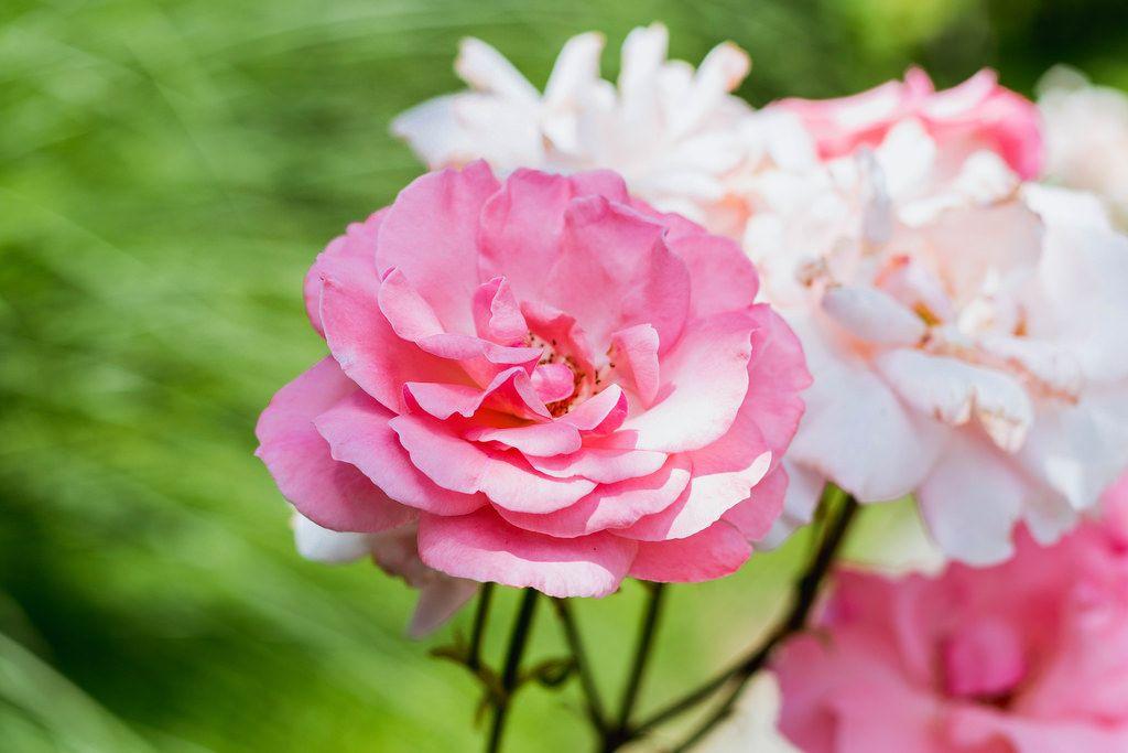Rosen im Hausgarten