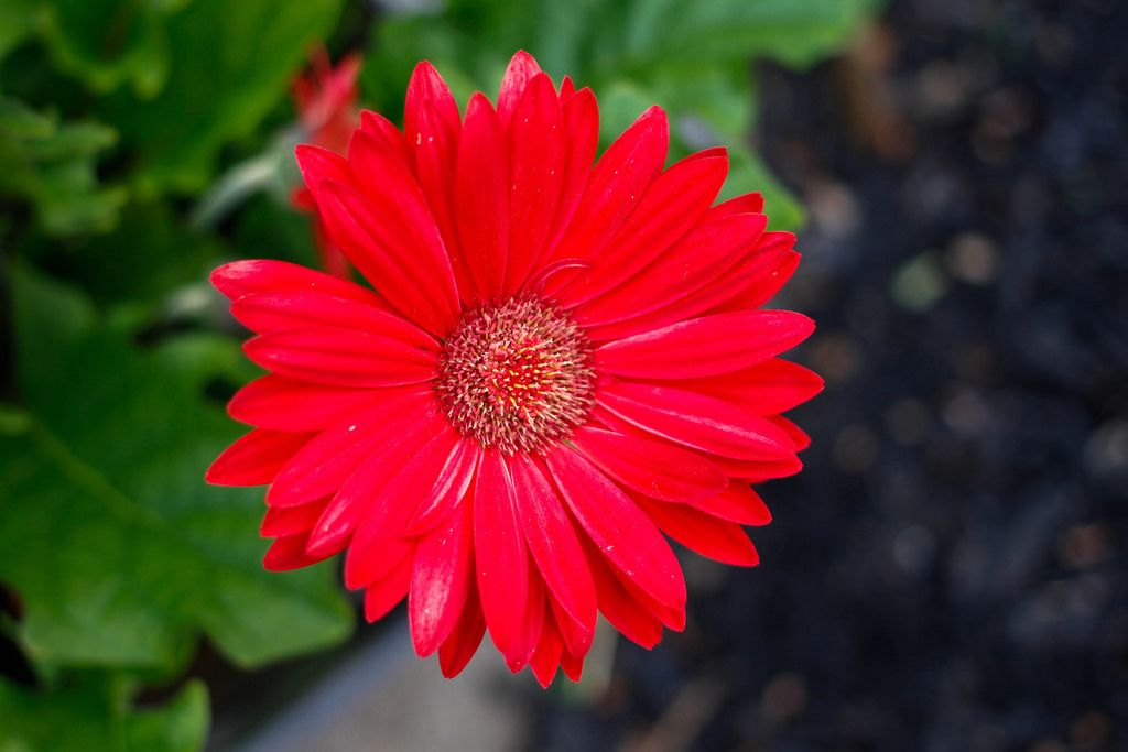 Rote Blume mit verschwommenem Hintergrund