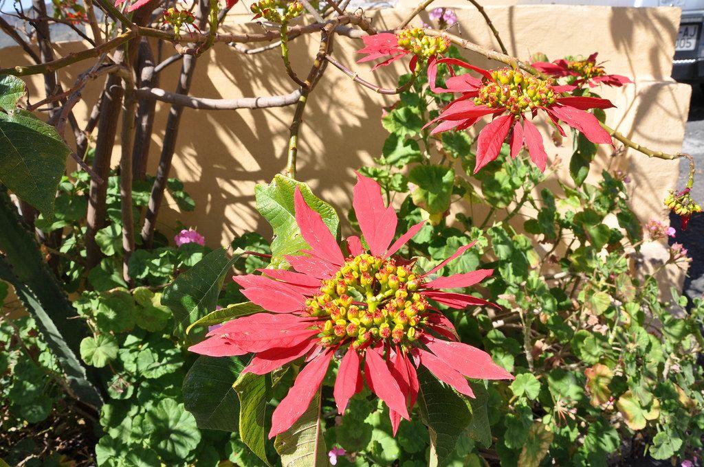 Rote Blumen auf den Kanarischen Inseln