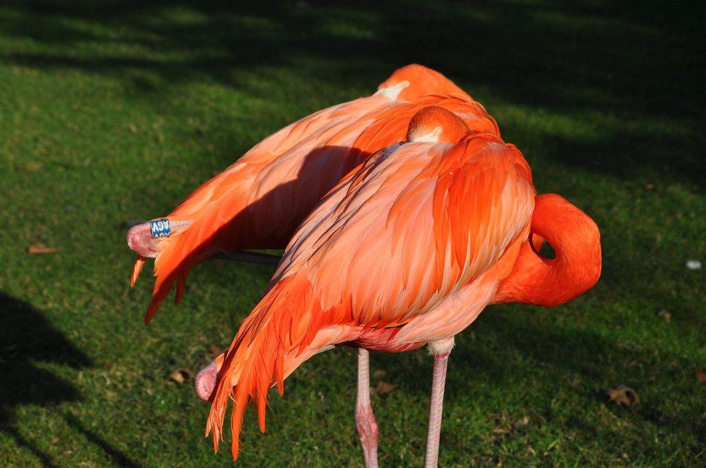 Rote Flamingos im Kölner Zoo